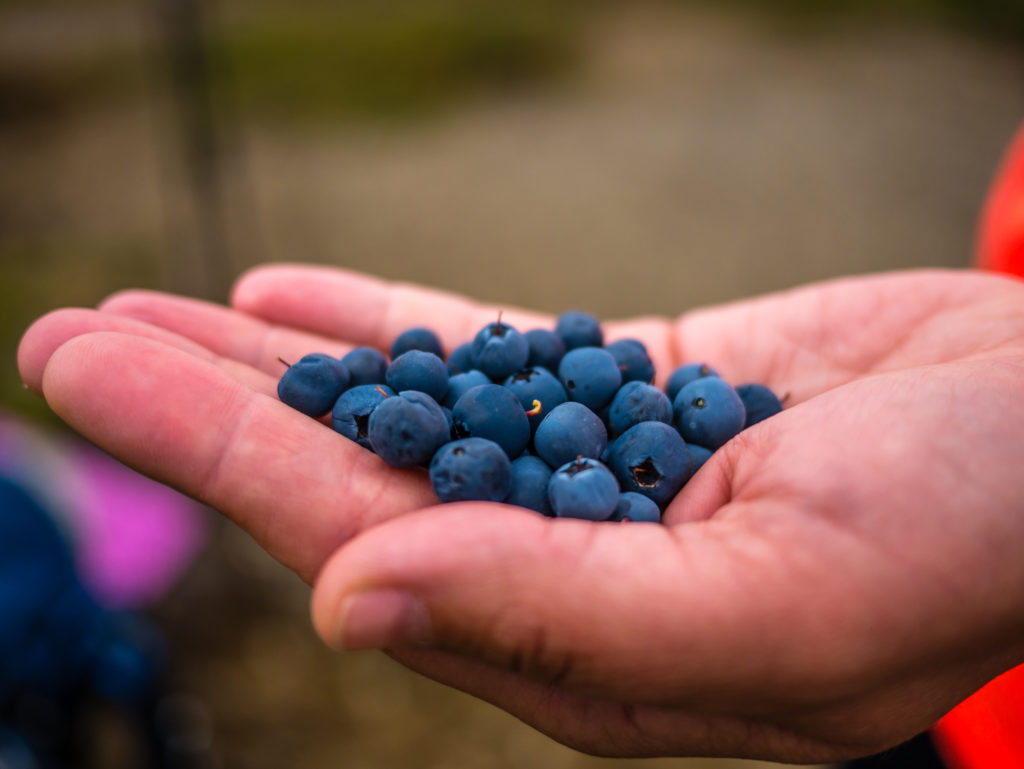 picking-wild-blueberries