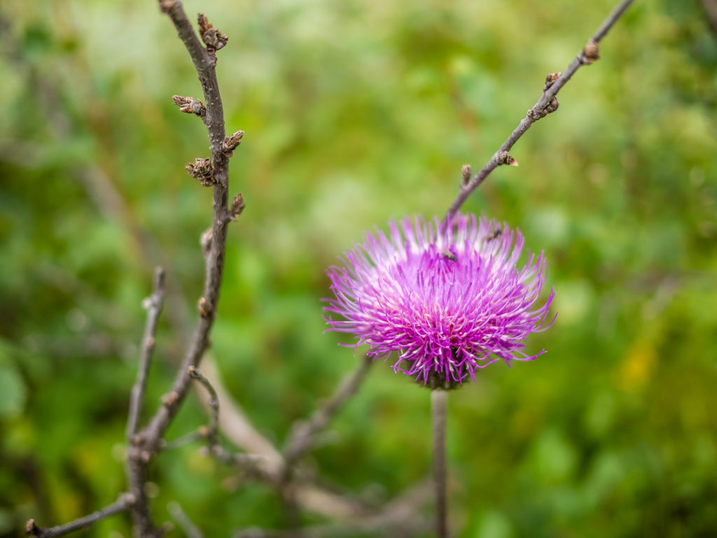 other_flora_purple-spear-thistle